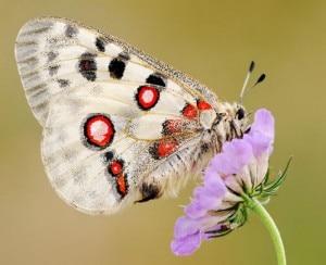 farfalla Common snow apollo