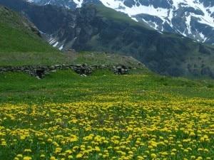Una fioritura di erbe officinali in Val d'Aosta