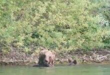 Photo of PNALM. Mamma orsa e i 4 cuccioli si concedono un bagno al lago