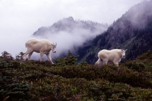 Mountain Goats Olympic National Park
