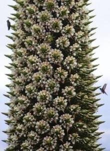I fiori della titanca (Photo Juan Karita - National Geographic)