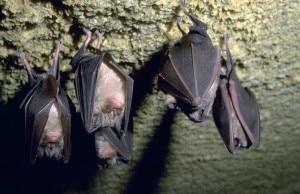 Pipistrelli (photo courtesy www.venadelgesso.org)