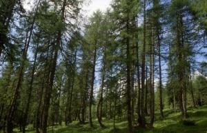 Bosco di larici sulle Alpi