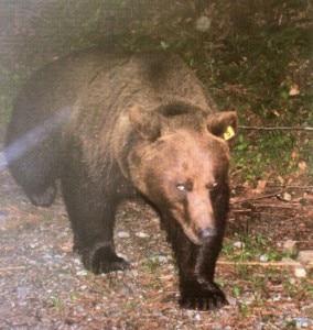 """L'orso Dino in un'immagine scattata da una fototrappola  (Photo www.carnia.la - """"Storia di Dino e altri orsi"""", Daniele Zovi)"""