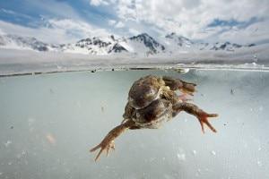 Rane in accoppiamento (Photo Cyril Ruoso - National Geographic)