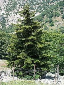 Abies Nebrodensis nel Parco delle Madonie (Photo Francesco)