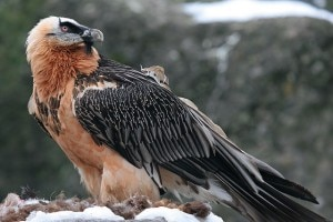 Gipeto (Photo courtesy www.birdphoto.it)