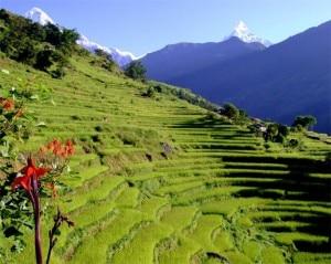 Terrazzamenti di riso