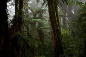 Le gigantesche felci arboree che crescono sui punti più elevati dei Monti Foja (Photo Tim Laman - Nationalgeographic.it)
