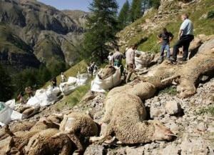 Strage di pecore in Alta Savoia (Photo courtesy Afp)
