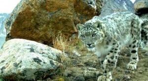 Snow Leopard (Photo courtesy Planetski.eu)