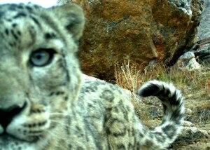 Snow-leopard (Credit Panthera_FFI www.fauna-flora.org)