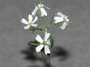 Silene Stenophylla  (Photo Russian Academy of Sciences)