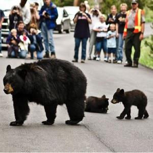 Gli orsi per le strade del parco di Yellowstone (Photo courtesy of www.flickr.com/photos/chickadeetrails)