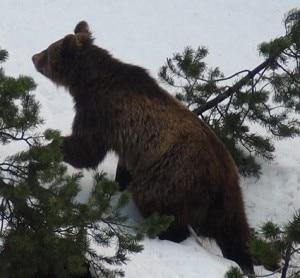 L'orso M13 avvistato in Engadina (Photo Keystone/Riatsch)