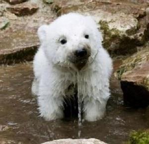 Cucciolo di orso dal manto bianco (Photo courtesy of blog.joinsmsn.com)