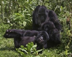 Gorilla di montagna (Photo Aude Genet courtesy of afp.com)