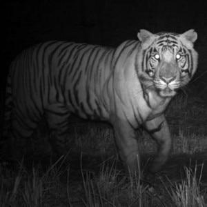 Tigre fotografata di notte nel Chitwan (Photo courtesy msnbc.com)