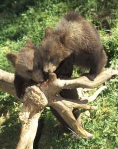 Cuccioli di orso (Photo courtesy of lapoesiaelospirito.wordpress.com)