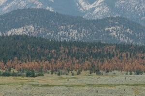 Foreste ammalate in Colorado (Photo courtesy botanicalgarden.ubc.ca)