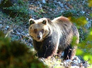 Orso marsicano (Photo courtesy of www.self-catering-abruzzo.com)