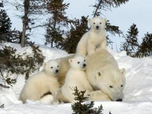 L'orso polare è una delle specie a rischio che è possibile adottare con Wwf Natale 2012 (Photo courtesy of www.allposters.com)