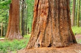 Le grandi sequoie dello Yosemite national Park