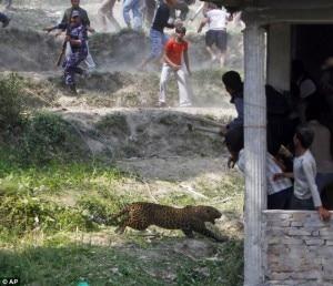 Il-leopardo-AP-Photo-Niranjan-Shrestha-300x258.jpg