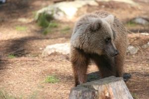 Photo of Il ritorno dell'orso sulle Alpi, una serata al Museo di Milano