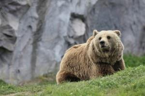 Photo of L'orso della Valsassina si chiama M7 e ha 4 anni. Ma ora si trova in Val Taleggio