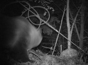 Photo of L'orso M7 è in Valtellina: immortalato da fototrappole della Polizia