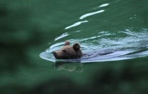 Photo of L'orso nuota nel lago, M11 fotografato sul Monte Baldo
