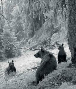 Photo of Orsi, sulle Alpi quasi raggiunto il limite di 50 esemplari. Ecco tutti i numeri