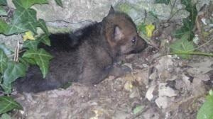 Il cucciolo di Lupo Appenninico fotografato nell'Area Faunistica del Lupo di Civitella Alfedena (Photo courtesy of www.parcoabruzzo.it)