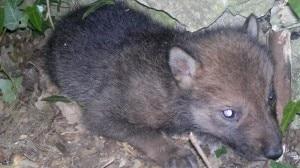 Il cucciolo di Lupo Appenninico ha poche settimane ed è stato trovato in buone condizioni di salute (Photo courtesy of www.parcoabruzzo.it)
