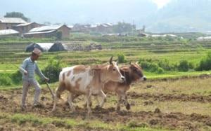 A farmer ploughs his field to prepare it for paddy plantation. Photo: Gorkhapatra