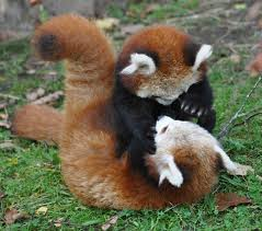 Red pandas. Photo: File Photo