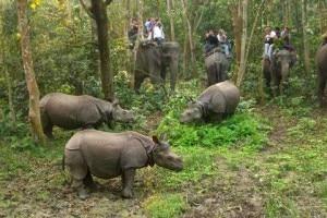 Rhinos are seen grazing as tourists enjoy jungle safari inside Chitwan National Park. Photo: nepalvillagetreks.com