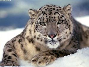 snow-leopard-300x224