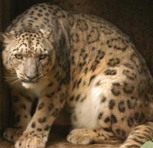 Snow Leopard. Photo: evk2cnr.org
