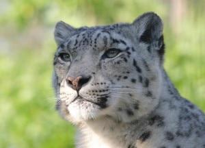 Snow leopard. Photo:evk2cnr.org