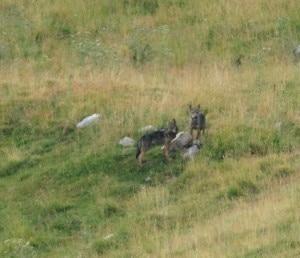 I due cuccioli di lupo avvistati in Lessinia (Photo Paolo Parricelli courtesy Archivio Parco Naturale Regionale della Lessinia)