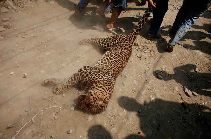Nepalese people drag a dead leopard that attacked locals, courtesy to http://lexlimbu.com