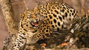File photo of a common leopard