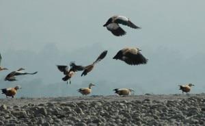 Migratory birds in Nepal, file photo, courtesy to www.myhimalayas.com