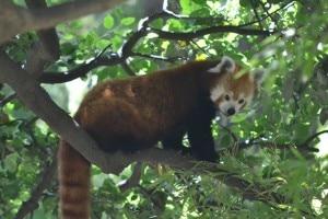 Red pandas, courtesy: facebook