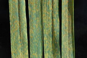 Ruggine del grano (photo wikipedia.org)