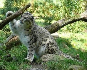 Leopardo delle nevi (Photo wikimedia)