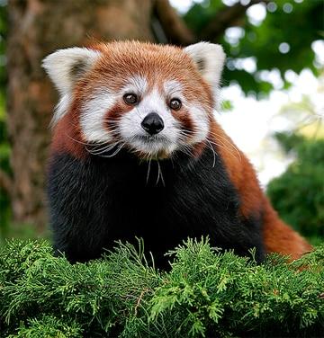 Red panda, file photo