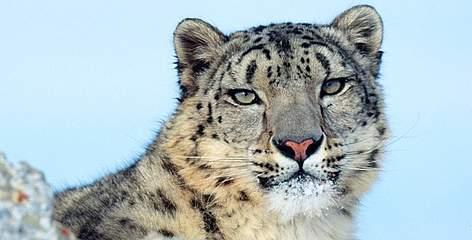 Snow leopard, file photo.